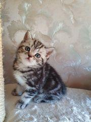 Wunderschöne BKH Kitten mit Stammbaum