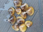 Körbchenmuscheln Corbicula Nanobecken Aquarium Miniteich