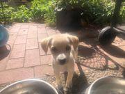 Pincher Chihuahua Welpe