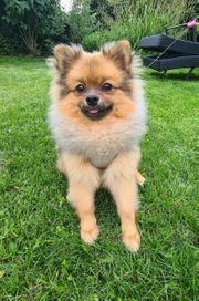 Reinrassige Pomeranian Zwergspitz Boo Teddy
