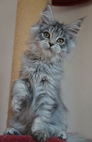 Maine Coons vom Lilientor