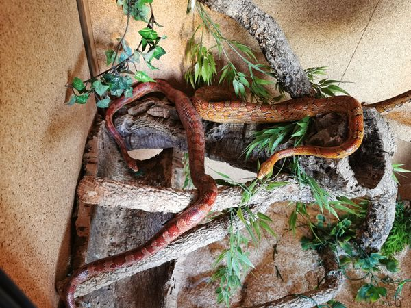 Kornnattern mit Terrarium