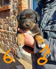 Labrador Schäferhund Berner Sennenhund Welpen