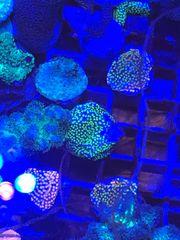 Meerwasser Montipora