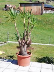 Palme 2 20m zu verkaufen