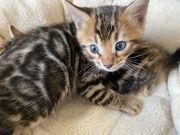 Bengal Kitten 2 Kater Frei