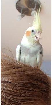 Wunderschöner Nymphensittich Hahn abzugeben