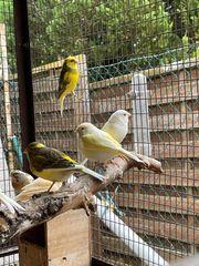 ich verkaufe meine Kanarienvögel verschiedene