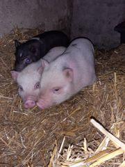 süße Minischwein Ferkel suchen ein