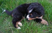 Schöne Berner Sennenhund Welpen