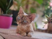 Devon Rex Kitten Wurfankündigung Cattery