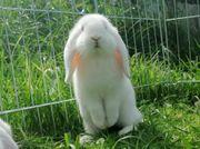 Zwergkaninchen Kaninchen Mini Lop Zwergwidder