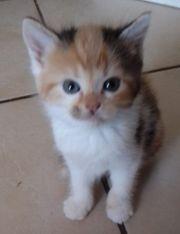 Meine Süße 6 Falbkatzenkinder suchen