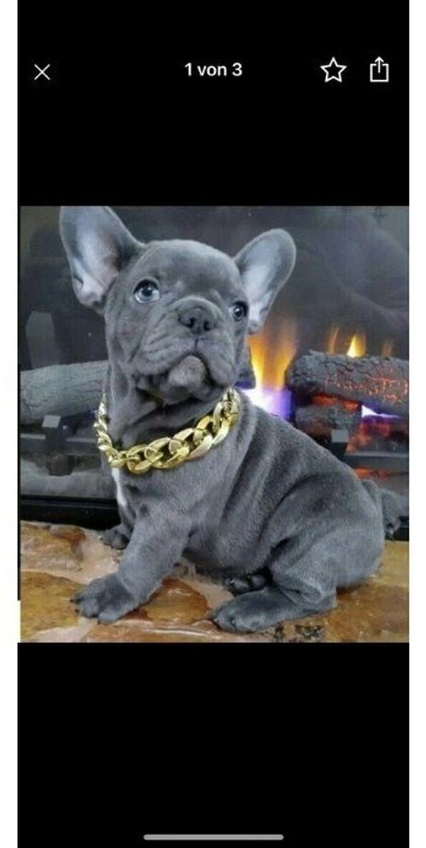 Franzosische Bulldogge Welpen Bluewunderschone Franzosische In Koln Hunde Kaufen Und Verkaufen Uber Private Kleinanzeigen