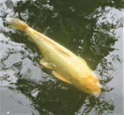 Jumbo Doitsu weiß 75 cm