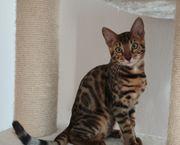Reinrassige Bengal Kitten Kater mit