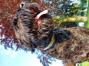 Russischer Terrier Riesenschnauzer Deckrüde