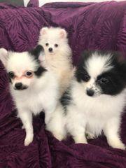 Pomeranian Welpen suchen ihr Zuhause