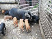 Pork Noir de Bigorre Vorfahre