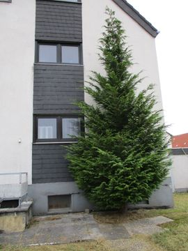 Gold-Zeder ca. 8-9 Meter hoch Gartenbau TOP!