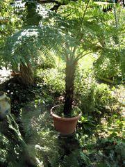 Schöner exotischer Farnbaum Attraktiv für