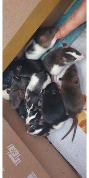 Ratten nachwuchs ab 21 märz