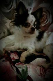 Chihuahua Mini Deckrüde kein Verkauf