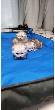 3 Süße BKH Kitten zu