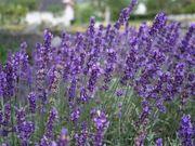Lavendel 25 Stück Munstead Lavendula