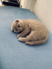 Scottish Fold Baby Katze