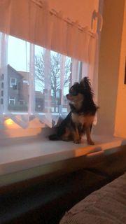 Chihuahua sucht neues Zuhause zum