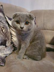 Scottishfold Kitten reinrassig und mit