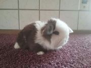 Traumhaft schöne Orginal Minilop Kaninchen