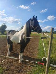 Pferd zu Verkaufen FrieseTinkerMix