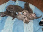 BKH Blau kitten reinrasige