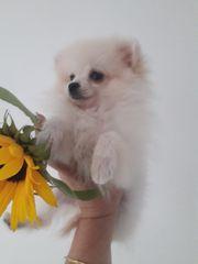 Pomeranian Zwergspitz Mädchen 3 Monate