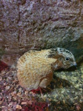 Vögel - Wachteln Wachtelhähne