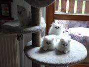 4 Perser- Kitten in den