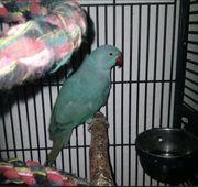 blauen halsbandsittich mit Käfig und