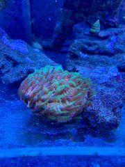 Meerwasser Aquarium Koralle Fungia