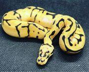 Königspython Python Regius Bumble Bee