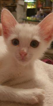 Siammix okh Kitten geb 15