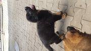 Schäferhund Welpen Rüde Schwarz