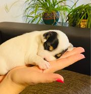 zuckersüße Parson Russell Terrier