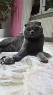 Scottish fold bkh Deckkater