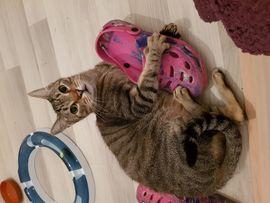 Calypso ein toller Tigerkater: Kleinanzeigen aus Schorndorf - Rubrik Katzen