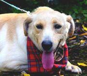 SLAVIA Labrador Mischlingshündin - liebevolle aktive
