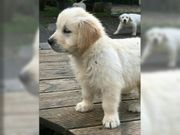 Reinrassige Golden Retriever Welpen