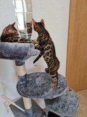 Bengal Kitten und Elterntiere Katze