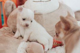 Hunde - Chihuahua Welpen mit Ahnentafel